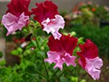 SALE! Rare Color Geranium Seeds Perennial Flower Seeds Pelargonium Graveolens Flowers for Rooms 30PCS