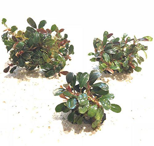 Bucephalandra on 3D Printed Ledges (3 pcs) Live Aquarium Plants by .V-Aquatics