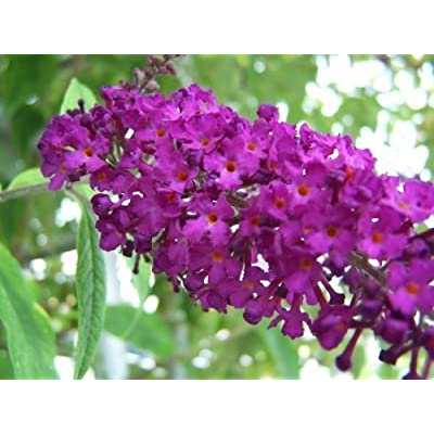 100 MIXED COLORS BUTTERFLY BUSH Buddleia Davidii Flower Shrub Seeds by Seedville: Toys & Games