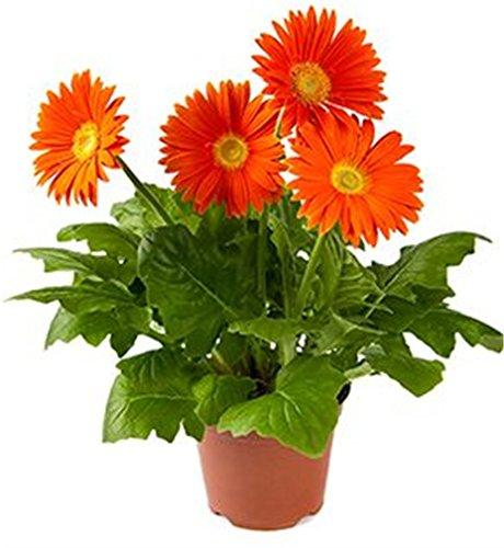 Gerbera Daisy Plant - Gerbera Flower 20 Seeds Mix Color