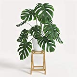 American Plant Exchange Split Leaf Philodendron