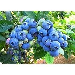 "Blueberry Plants ""Legacy"" Northern Highbush Includes (4) Four Plants"