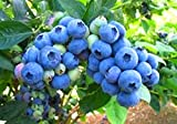 "Blueberry Plants ""Legacy"" Northern Highbush Includes (4) Four Plants"