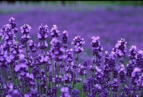 Alteya USDA Organic Bulgarian Lavender Essential Oil 1 Fl Oz/30 mL