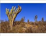 Photographic Print of Quisco Cacti / Trichocereus chilensis / Cereus