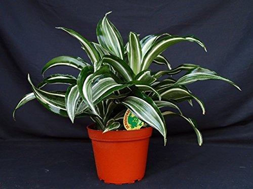 Dracaena 'Jade Jewel' - 3 Gallon Live Plant - 4 pack by PlantVine