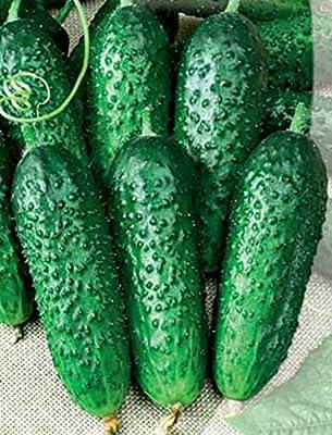 Cucumber Seeds Slavko F1 Russian Pickling Hybrid NON-GMO Organically Grown
