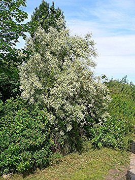 (10 Seeds Russian Olive Tree Elaeagnus angustifolia)