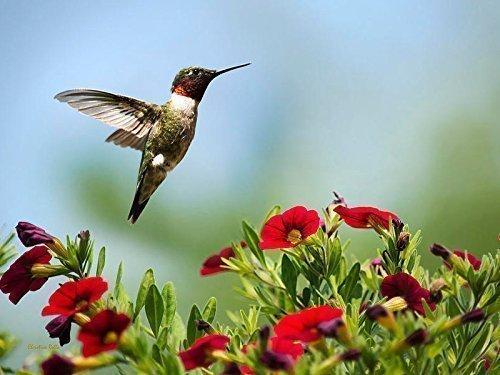 Amazon.com: Bird Print, Hummingbird Photo, Nature Photography, Ruby ...