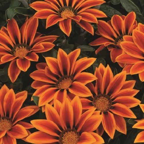 Gazania Kiss (Gazania - Kiss Orange Flame - 20 Seeds)