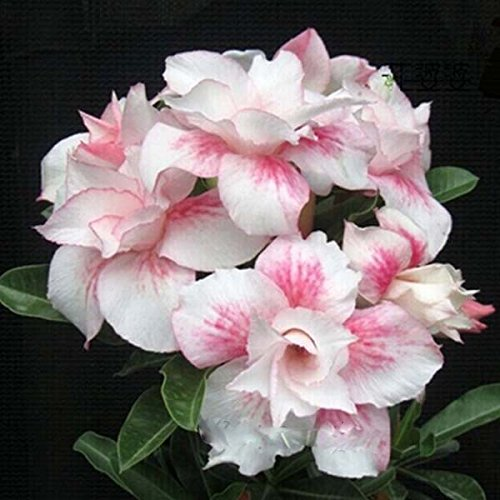 (DPLA *Ambizu*) 2 Seeds / Pack, Double Pink Lilium * Adenium Obesum* One in Siam Desert Rose Flowers Seeds