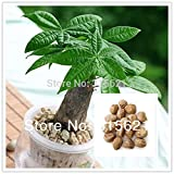 10pcs Bonsai Pachira Aquatica Macrocarpa Seeds Money Tree Seed Beautiful Health Plants For Home