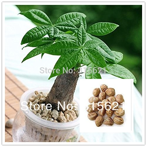 10pcs Bonsai Pachira Aquatica Macrocarpa Seeds Money Tree Seed Beautiful Health Plants For Home SVI