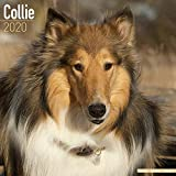 Collie Calendar 2020 - Dog Breed Calendar - Wall Calendar 2019-2020