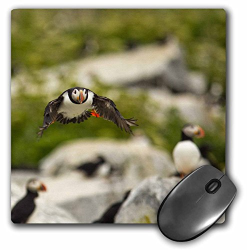 3dRose LLC 8 x 8 x 0.25 Inches Atlantic Puffins Machias Seal Island Cutler Maine Chuck Haney Mouse Pad (mp_90616_1) (Photograph Cutler)