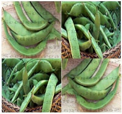 ROMA II Bean seeds - BUSH TYPE- ITALIAN ROMANO FLAVOR - High yields Bush type - 55 - 60 DAYS