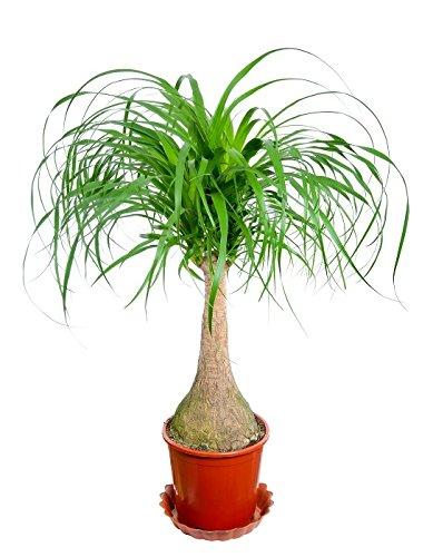 (Ponytail Palm, Elephant's Foot seeds - Nolina recurvata)