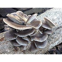 Blue Oyster - Pleurotus columbinus Mushroom Mycelium Plug Spawn