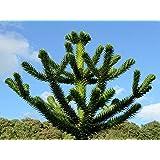Great Gift - 4 Years Old Araucaria araucana 2L Pot Monkey Puzzle Tree