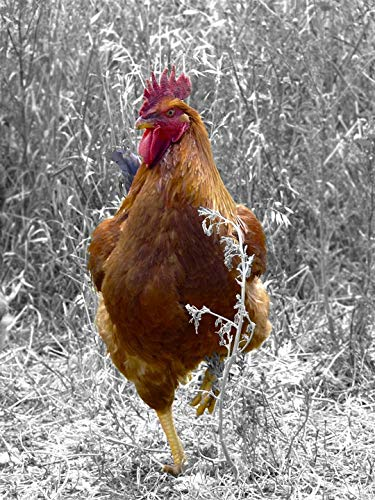 Home Comforts Laminated Poster Thursday Chicken Rooster Poultry Farm Bird Field Vivid Imagery Poster Print 24 x 36