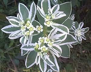 20 SNOW ON THE MOUNTAIN Euphorbia Marginata Flower Seeds