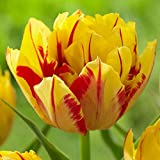 10 Bulbs Tulip Double Early Monsella