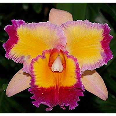 Fragrant Large Flowers! ~ Cattleya Orchid ~ Pot. Dick Smith 'Paradise': Grocery & Gourmet Food