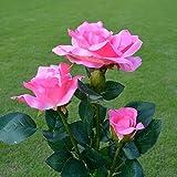 Solar Powered Artificial Rose Flower LED Lights 3 Heads Solar Rose Flower Lights Outdoor Decorative Landscape LED Rose Lights (Pink)