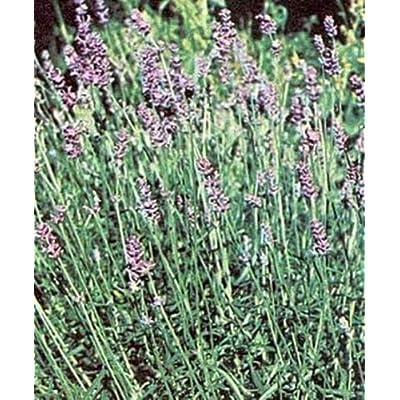 Herb Seeds - Lavender Spica Seeds : Garden & Outdoor