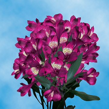 GlobalRose 120 Blooms of Purple Fancy Alstroemerias 30 Stems - Peruvian Lily Fresh Flowers for Delivery by GlobalRose