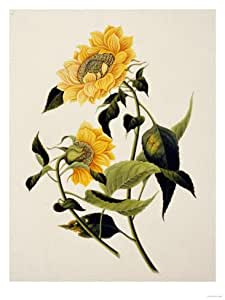 Double Yellow Hibiscus, circa 1800 Giclee Print Art (24 x 32 in)