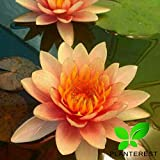 Planterest - Water Lily Tuber 4 Pre-Grown Hardy