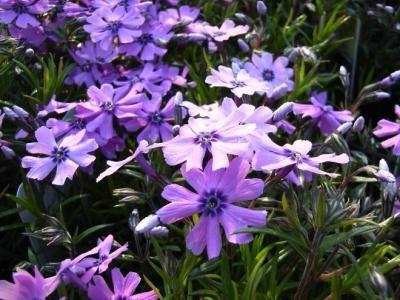 Classy Groundcovers - Phlox 'Purple Beauty' Creeping Phlox, Moss Phlox {25 Pots - 3 1/2 in.} by Classy Groundcovers (Image #3)