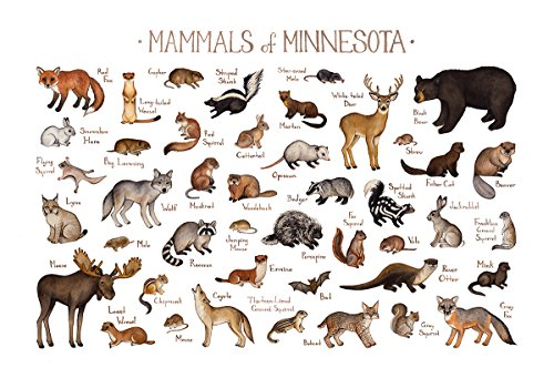 (Minnesota Mammals Field Guide Art Print)