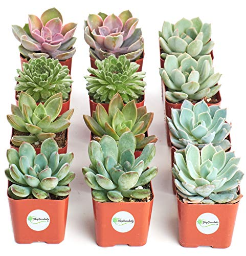 Shop Succulents | Radiant Rosette Collection of Live Succulent Plants, Hand Selected Variety Pack of Mini Succulents | Collection of 12