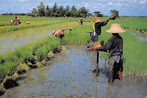 Farmers uproot rice seedlings for transplant on the other rice fields Thailand Postcard