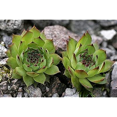 Lumos80 Sempervivum Seeds - (Sempervivum Tectorum) Houseleek, Commonly Called Hens and Chicks- Hardy Perennial ! (500 Seeds) : Garden & Outdoor