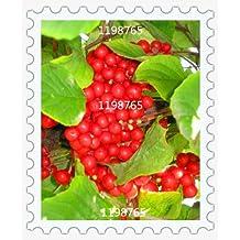 100pcs / bag schisandra Seeds, DIY Home Garden Plant Chinese Magnolia Vine Edible Fruit Seeds