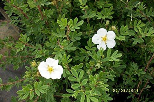 50 Stück Potentilla fruticosa 'Abbotswood' - (Fingerstrauch 'Abbotswood')- Topfware 20 - 30 cm
