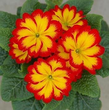 Promotion 100 Evening Primrose Blue Evening Primrose,fragrant DIY Home Garden flower hardy plant,