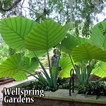 1 LIVE BULBS Colocasia gigantea Thailand Giant Thai Giant Elephant Ear Huge Leaf