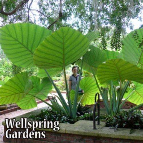 Colocasia gigantea – Thailand Giant Thai Giant Elephant Ear Live Plant Review