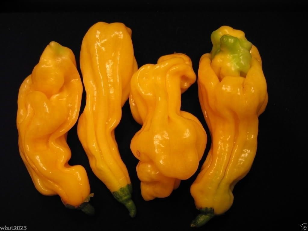1000 Malaysian Goronong Pepper Seeds (Capsicum chinense) Aromatic ,VERY RARE !