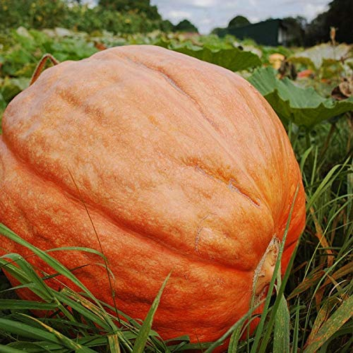- David's Garden Seeds Pumpkin Big Max SL3452 (Orange) 25 Non-GMO, Heirloom Seeds