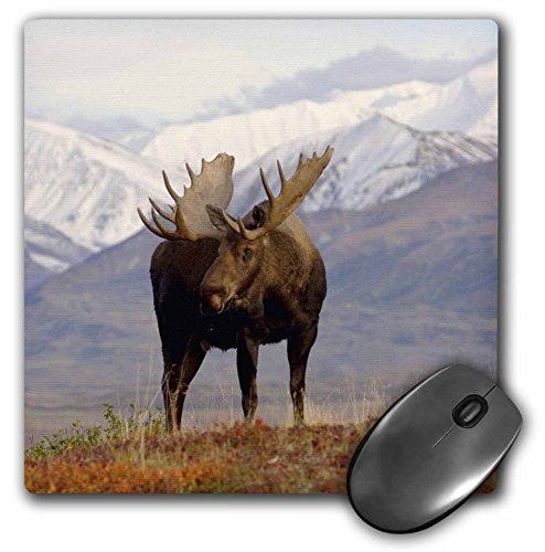 (3dRose LLC 8 x 8 x 0.25 Inches Mouse Pad, Moose Bull Wildlife Denali National Park Alaska Steve Kazlowski (mp_87701_1) )