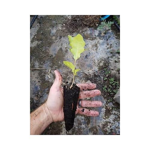 One Shummard Red Oak Seedling Quercus Shumardii