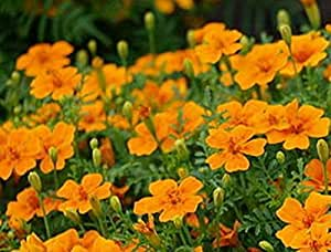 Flower Seeds Marigold - Tagetes Dwarf Orange Annuals