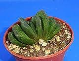 Seeds: Haworthia 'Kegani'