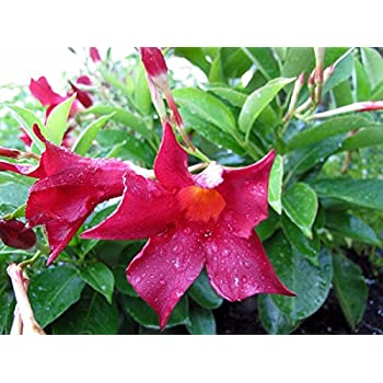 Amazon dipladenia red 1 large plant 4 pot vine or dipladenia red 1 large plant 4 pot vine or bush mandevilla mightylinksfo
