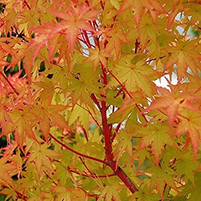 (1 Gallon) Sango kaku Japanese Maple Brilliant Red Bark(Coral Bark)- A Real Beauty,Coral Barurn Bright red, Year Round Beauty with Spectacular Range of Leaf Colors- A Real Beauty